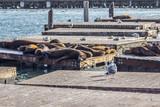 Sea Lion in San francisco pier - 174169168
