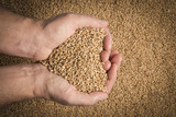 wheat grains in hands  - close up - 174175386