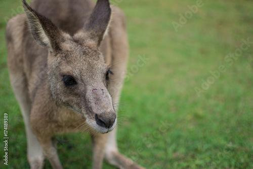 Aluminium Kangoeroe cute kangaroo looking down