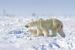 Polar bear mother (Ursus maritimus) with new born cub walking on tundra, Wapusk National Park, Manitoba, Canada