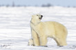 Polar bear mother (Ursus maritimus) with new born cub standing on tundra, Wapusk National Park, Manitoba, Canada