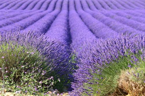 Fotobehang Lavendel Lavanda Provenza 3