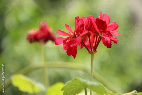 Foto op Canvas Klaprozen Flor rojo