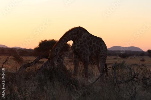 Fotobehang Kameel Safari en Namibie