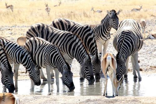 Safari en Namibie Poster