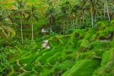 Rice fields Jatiluwih - Bali island Indonesia - 174251929