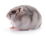 Small domestic hamster.