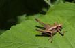 Heuschrecke Strauchschrecke, Pholidoptera griseoaptera