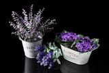 Violetas y flores de lavanda en maceteros. - 174311548