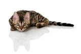 Liegende Bengalkatze - 174312525