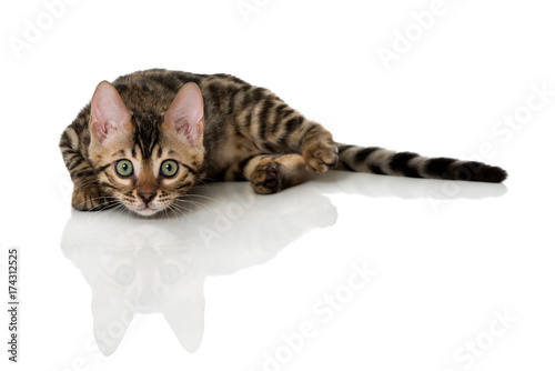 Liegende Bengalkatze Poster