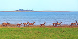 Panorama of a large herd of Impala running along the shoreline of Lake Kariba, with view of the lake and lush plains, Zimbabwe - 174314929