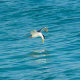 Bridled Tern, Onychoprion anaethetus, bird diving in the lagoon in French Polynesia, fishing