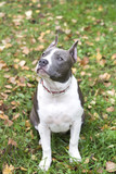 Dog American Staffordshire Terrier