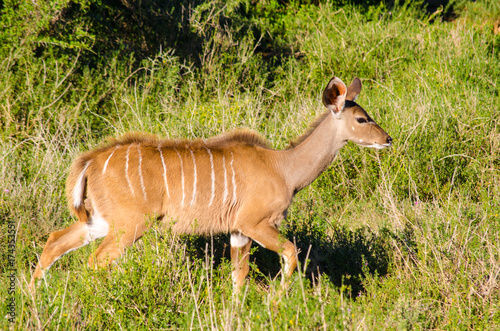 Female Greater kudu, Tragelaphus strepsiceros, in Addo Elephant National Park, S Poster
