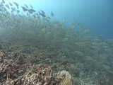 A huge school of silver fish swim over a coral reef - 174363580