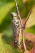 Red-legged Grashopper in Detail