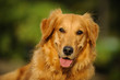 Golden Retriever dog portrait in trees