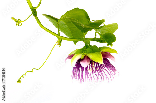passion fruit flower Poster