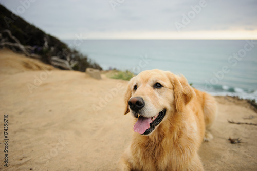 Golden Retriever dog lying on cliff overlooking the ocean Poster