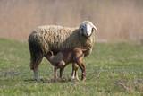 Lamb sucking the sheep - 174411319