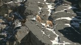 Female Rocky Mountain Sheep  - 174412777