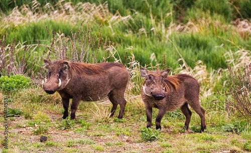 Fotobehang Bison animals