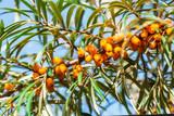 Orange berries of a sea-buckthorn - 174424573