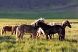 Herd of icelandic horses - 174427387