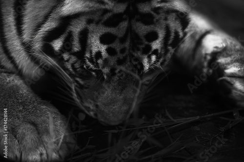 sleeping flat tiger Poster