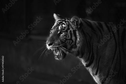 Fotobehang Tijger tiger intimate stare