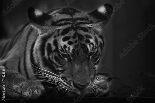Stampa su Tela tiger cute