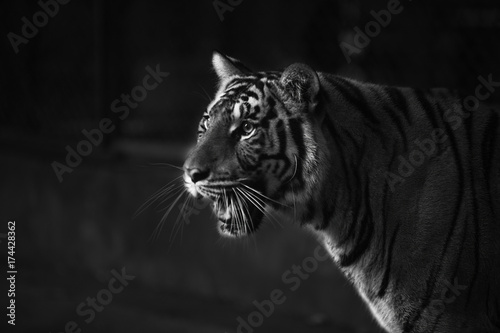 Poster tiger intimate stare