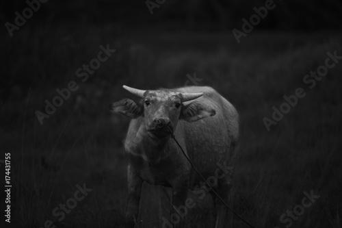 Fotobehang Neushoorn the curious buffalo