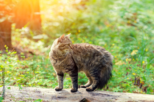Papiers peints Jaune de seuffre Siberian cat walking in the forest in summer. The cat is standing on a log