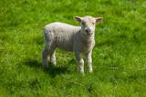 Lamb on green meadow - 174449122