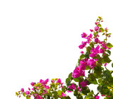 Blooming bougainvillea isolated on white background - 174449797