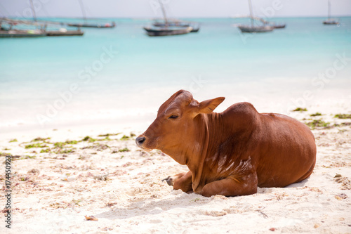 African cows are resting on the beach Poster