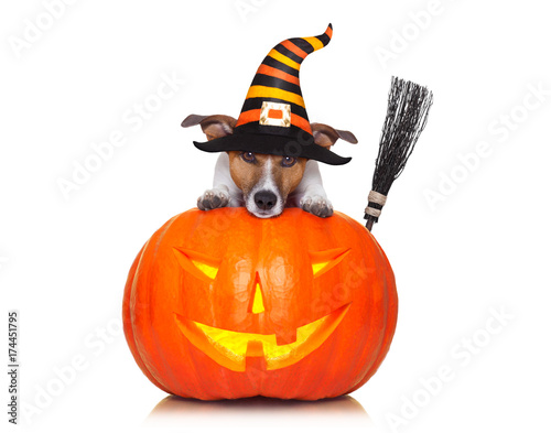 Keuken foto achterwand Crazy dog halloween pumpkin witch dog