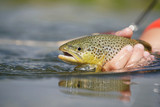 Closeup of brown trout being caught by fisherman - 174455735