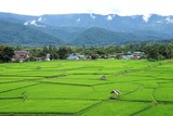 Green rice field with green mountain background and soft white clouds - 174459341