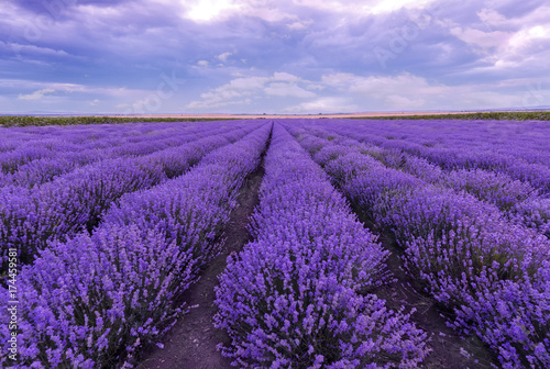 Foto op Canvas Violet Lavander field. Magic Lavender field with blooming lavender in Bulgaria.