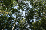 The tops of birch trees in summer forest