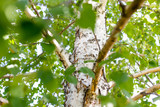 branches of birch with white bark in nature