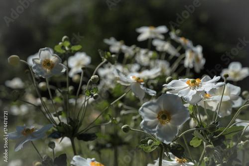 Herbstanemone Anemone hupehensis © svetlana