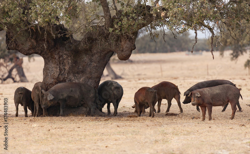Foto op Aluminium Chocoladebruin Iberian pigs grazing among the oaks
