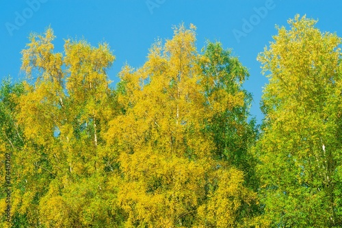 Poster Honing Autumn landscape. Birch trees with bright yellow leaves against the blue sky