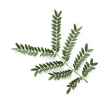 Acacia leaves with branch  isolated on white background, top view - 174529787