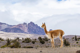 Vicuna grazing in the Andean paramos - 174552928