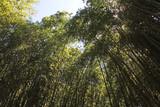 au dessous des bambous